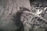 Olifantskontenvlees