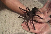 T-Blondi Zilla Pet Spider