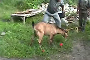 Goat gets decapitated