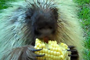 possessive little porcupine