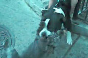 Pitbull attack on a little dog