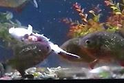 Feeding piranhas