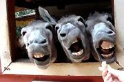 Funny donkey quartet