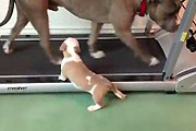 Pitbull puppy uses tredmill