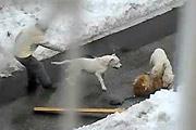 American Bulldog Attack