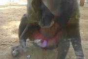 Masturbating baboon eats cum