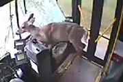 Deer Crashes Through Windshield of City Bus