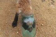 Fox cub in a jar