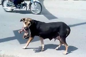 Dog Carries Human Fetus