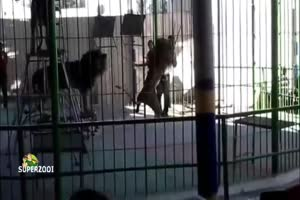 Big Cat Attack During Show