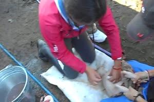 Squeal Piggy Castration