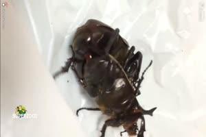 Beetles Fucking