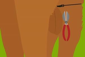 Zip bandit castration no tools needed