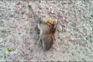 Mice VS Hornet
